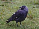 JACKDAW AFTER THE RAIN