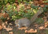 Squirrel ~ St James's Park