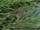 Wolf Spider on Heather